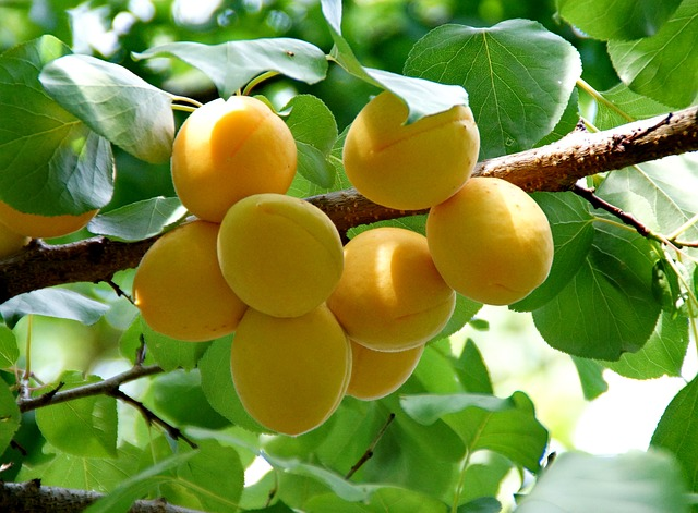 Are apricot kernels for cancer patient recommended?