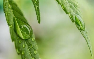 Cannabis Oil – The New Wonder Remedy?!