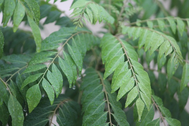Treat diabetes with Curry leaves