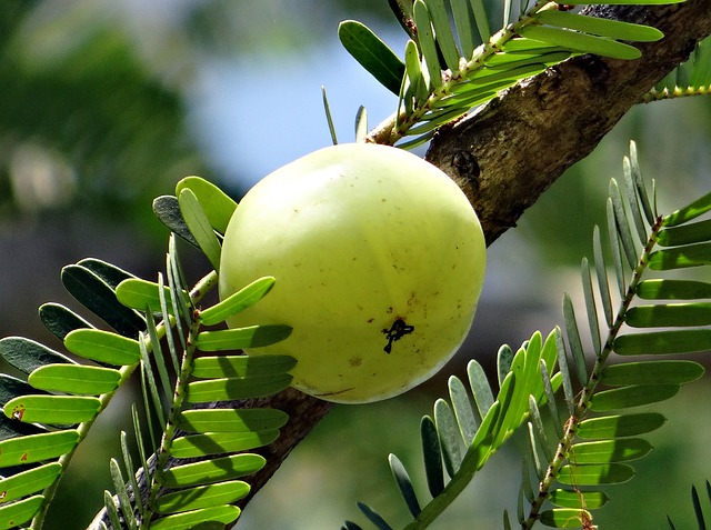 Treat diabetes with Indian Gooseberry