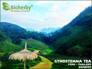 Organic Gynostemma Tea from the High Mountains