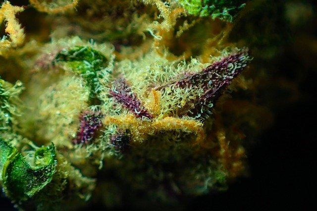 Cannabis Bud Flavonoids