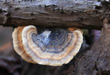 Immune-Boosting Benefits of Turkey Tail Mushroom
