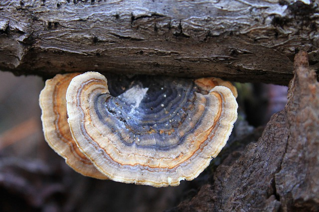 Immune-Boosting Benefits of Turkey Tail Mushroom