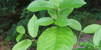 Facts You Should Know About Kratom
