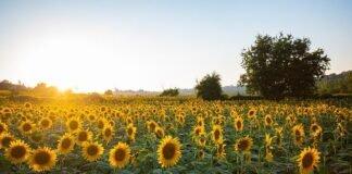 8 Sunflower Lecithin Benefits